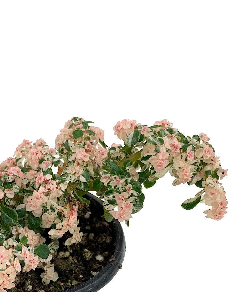 Pilea microphylla 'Variegata' - Quart
