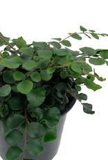 Pellaea rotundifolia - Quart