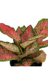 Aglaonema commutatum 'Red Valentine' - 6 Inch