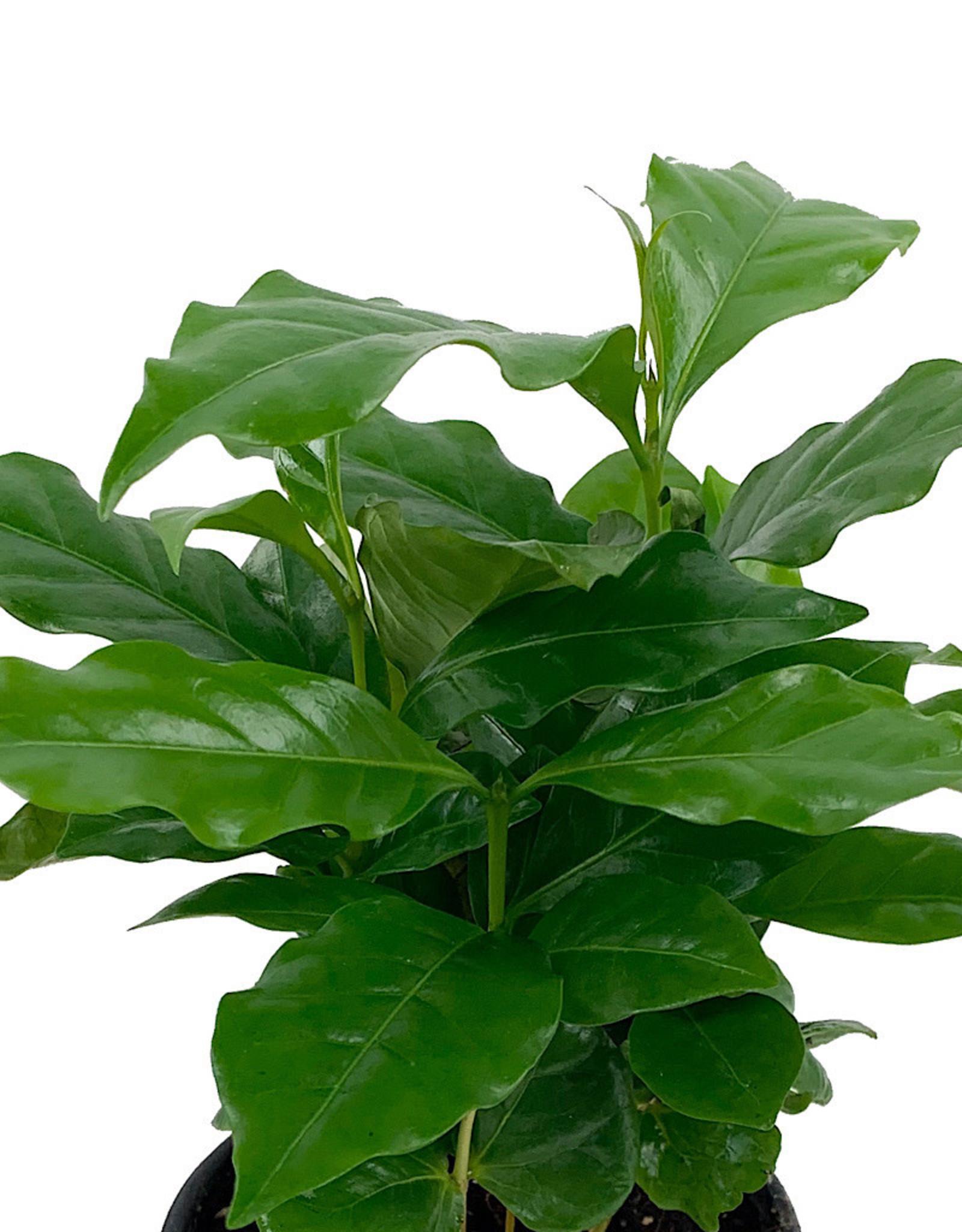 Coffea arabica 4 Inch