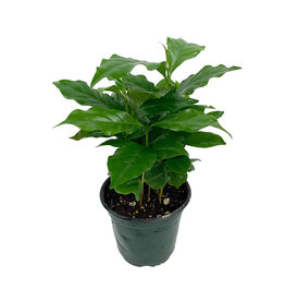 Coffea arabica 4 Inch