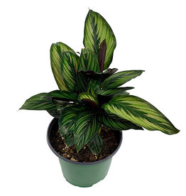 Calathea ornata 'Beauty Star' - 6 inch
