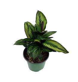 Calathea ornata 'Beauty Star' 6 Inch