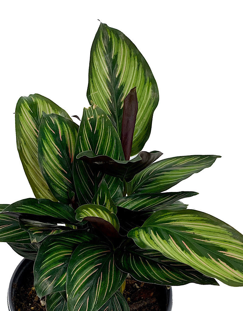 Calathea ornata 'Beauty Star' - 6 inch