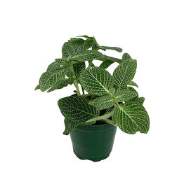 Fittonia albivenis 'White Mini' - 4 inch
