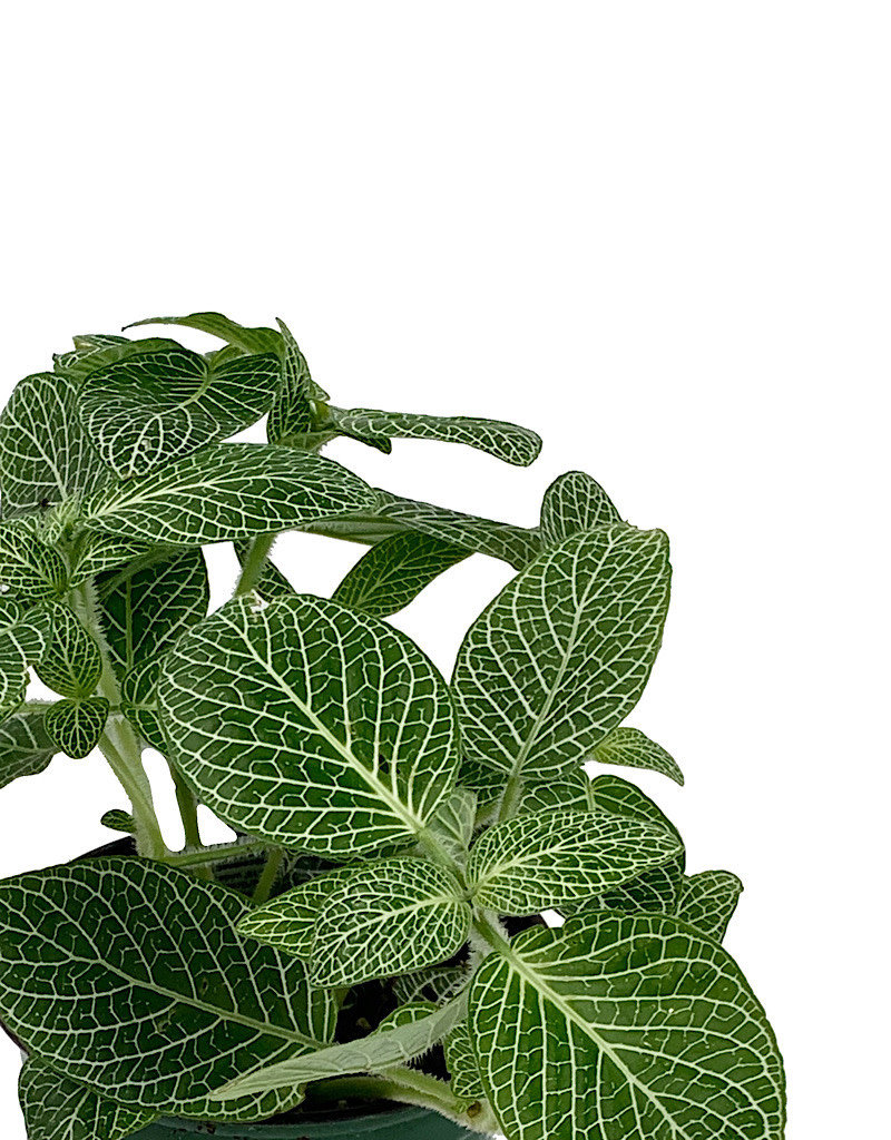 Fittonia albivenis 'White Mini' - 4 inch