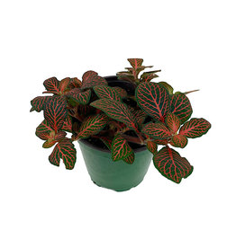 Fittonia verschaffeltii 'Red Vein' - 4 inch