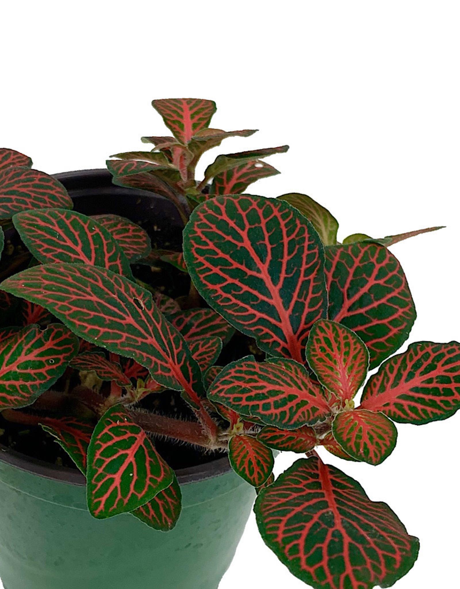 Fittonia verschaffeltii 'Red Vein' - 4 inch