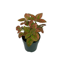 Hypoestes phyllostachya 'Red' - 2 inch