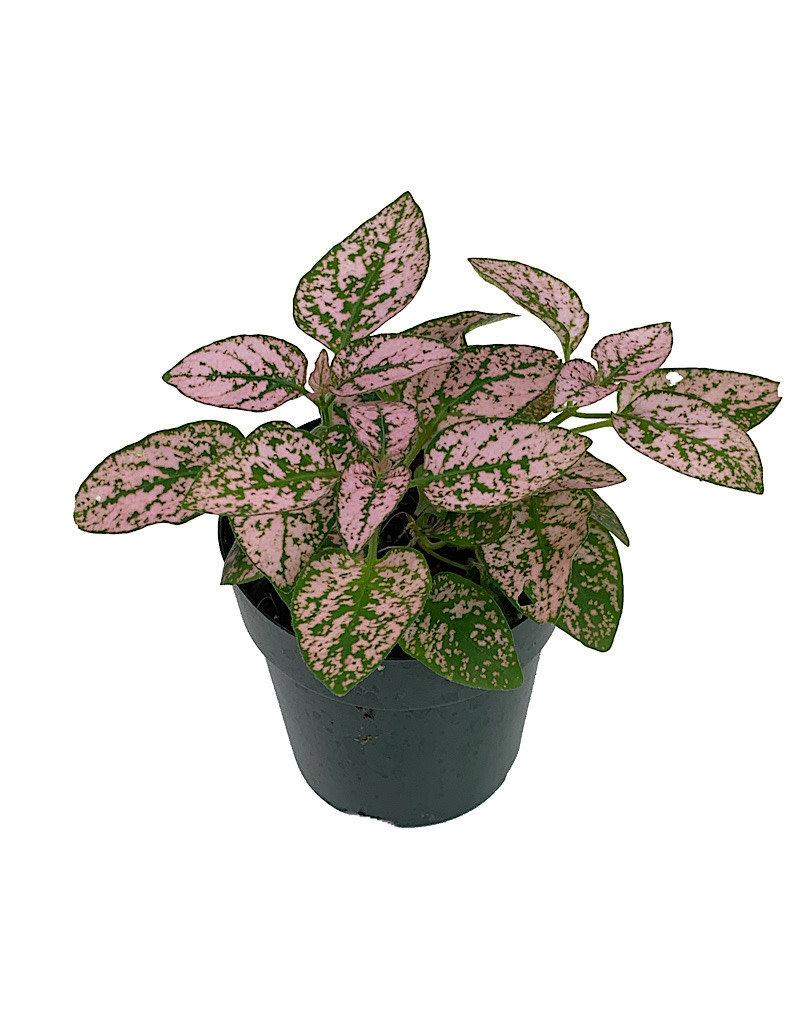 Hypoestes phyllostachya 'Pink' - 2 inch