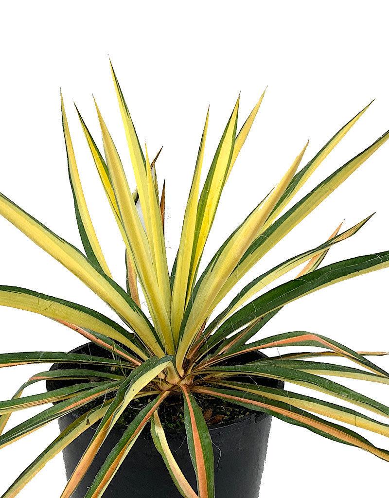 Yucca 'Golden Sword'
