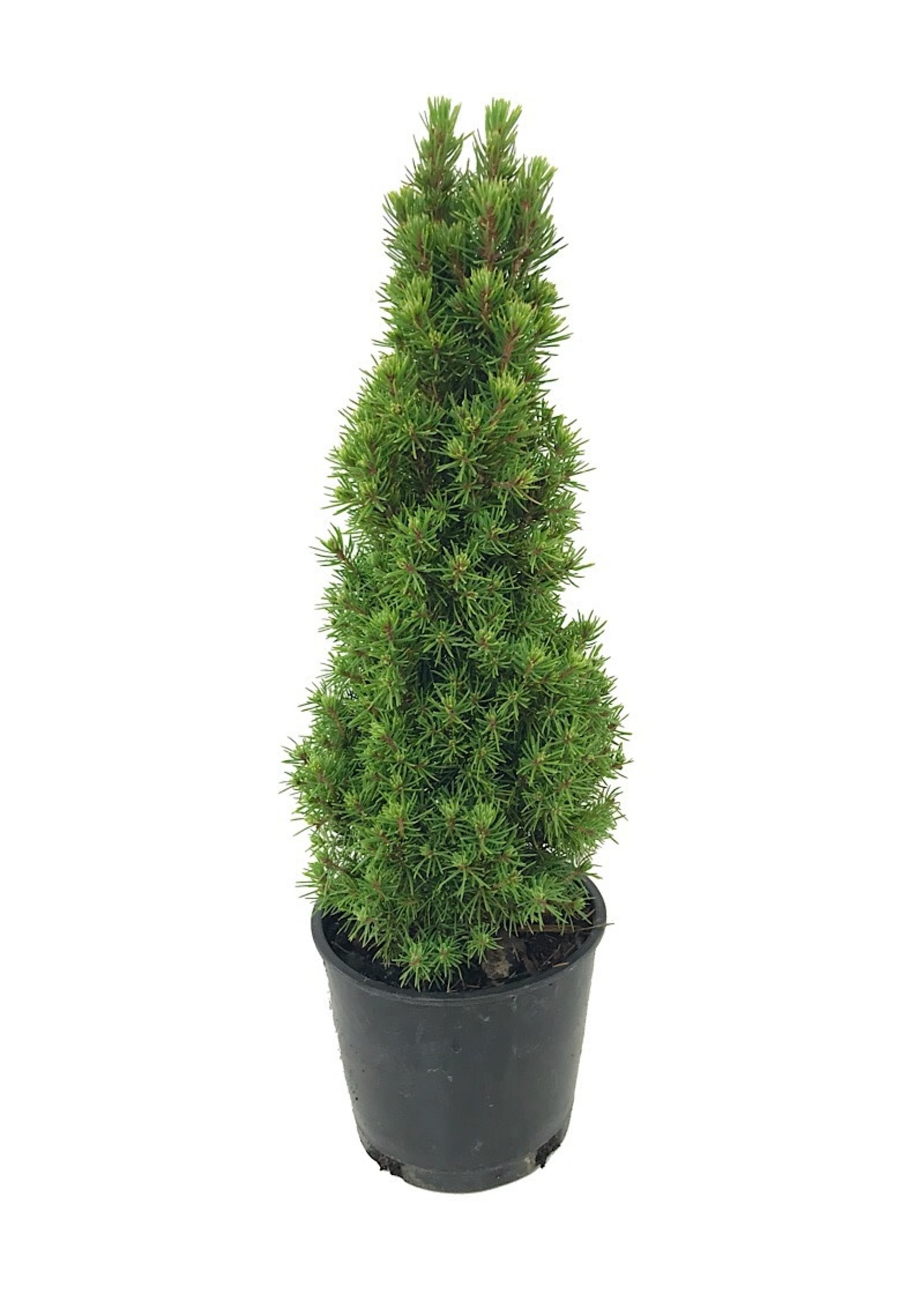 Picea glauca 'Jean's Dilly'