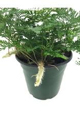 Davallia fejeensis 'White'