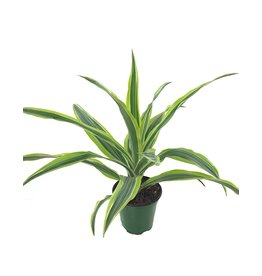 Dracaena deremensis 'Lemon Lime Bush'