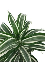 Dracaena deremensis 'White Jewel'