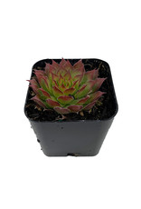 Sempervivum 'Gold Nugget'