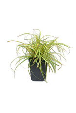 Carex oshimensis 'Evergold'