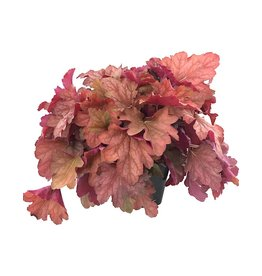 Heuchera 'Carnival Watermelon'