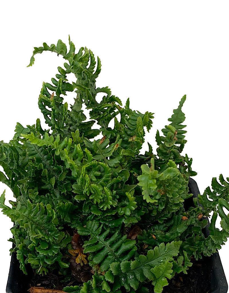 Dryopteris affinis crispa 'Congesta'