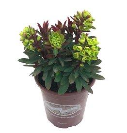 Euphorbia x martinii 'Redwing'