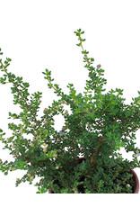 Ceanothus impressus 'Vandenberg'