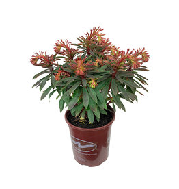 Euphorbia x martinii 'Rudolph'