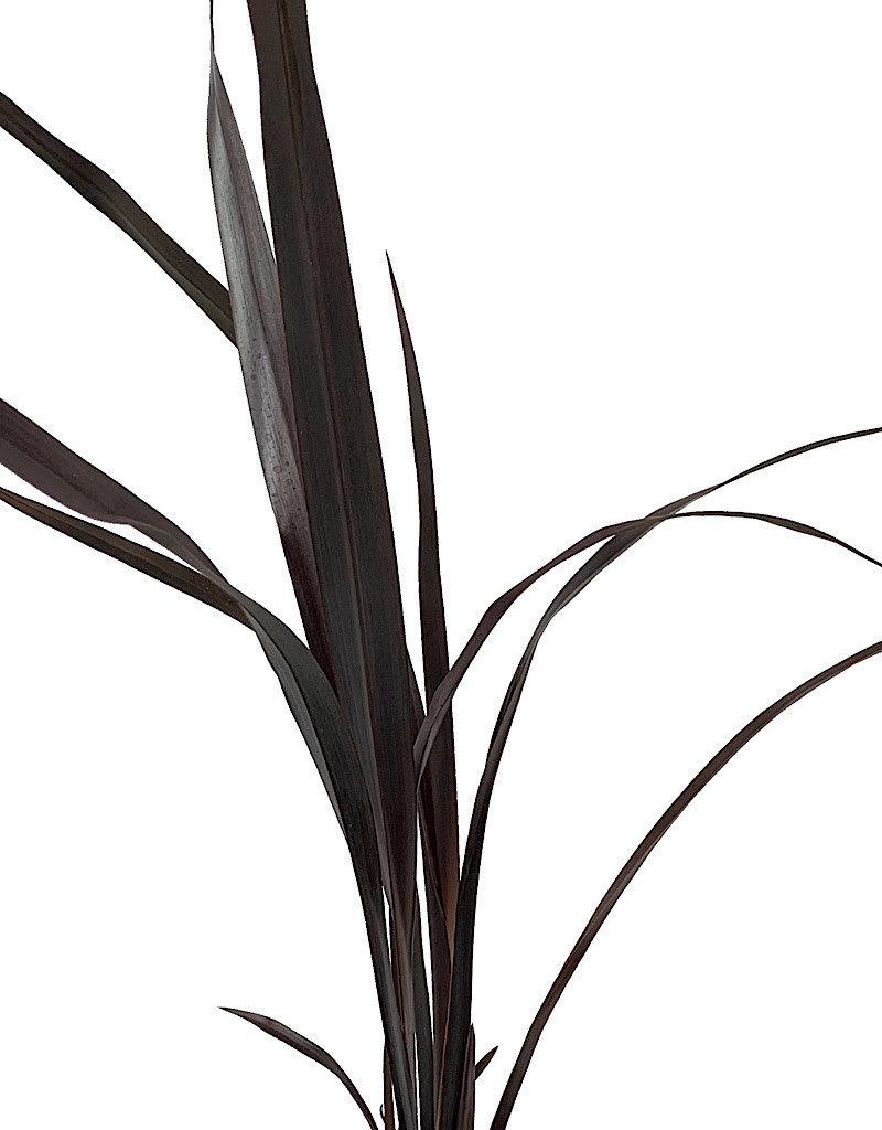 Phormium 'Black Adder'- 1 gal
