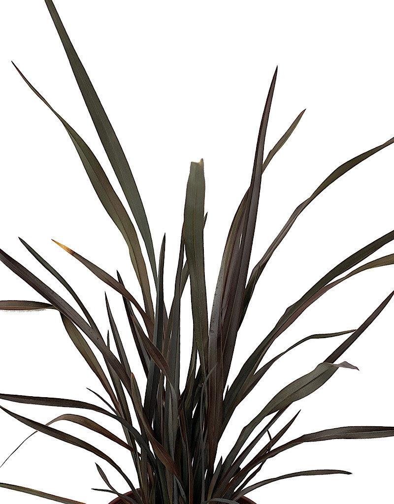 Phormium 'Platt's Black' - 1 gal