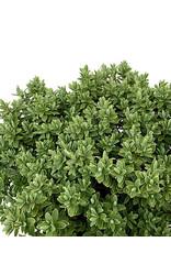 Hebe pinguifolia 'Sutherlandii'