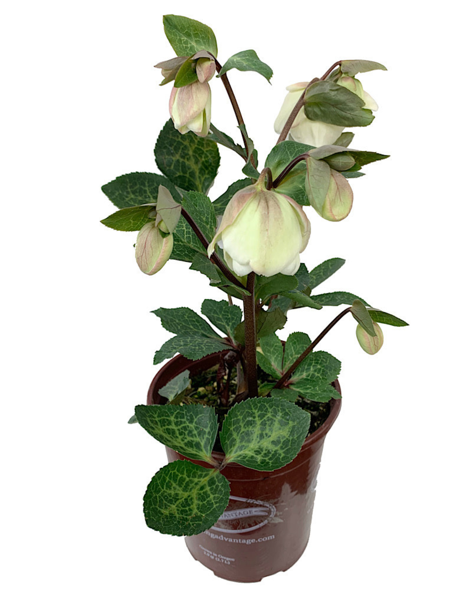 Helleborus x 'Molly's White'