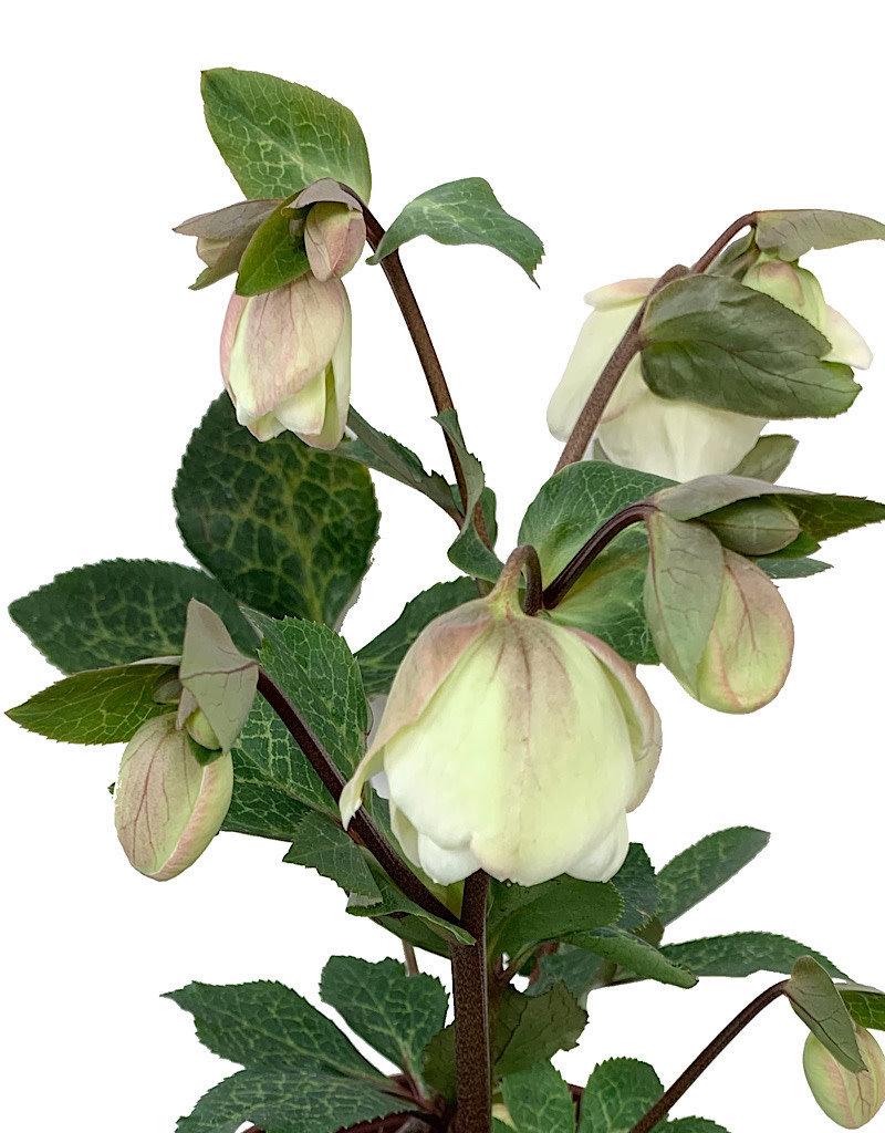 Helleborus x 'Molly's White'