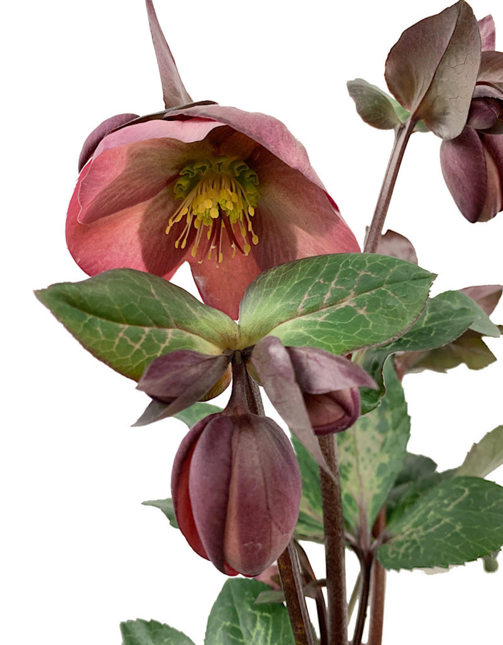 Helleborus x 'Penny's Pink'