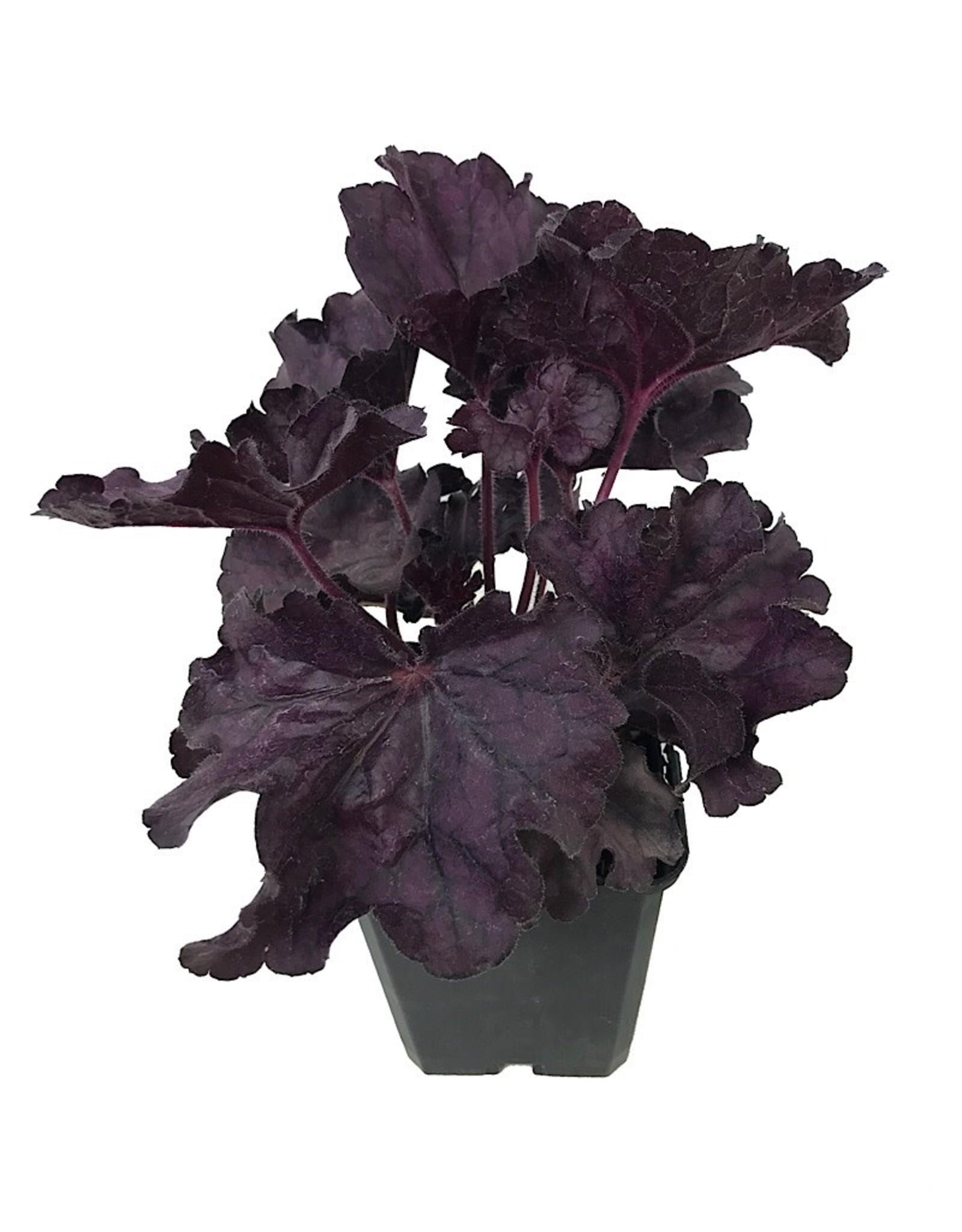 Heuchera 'Forever Purple'