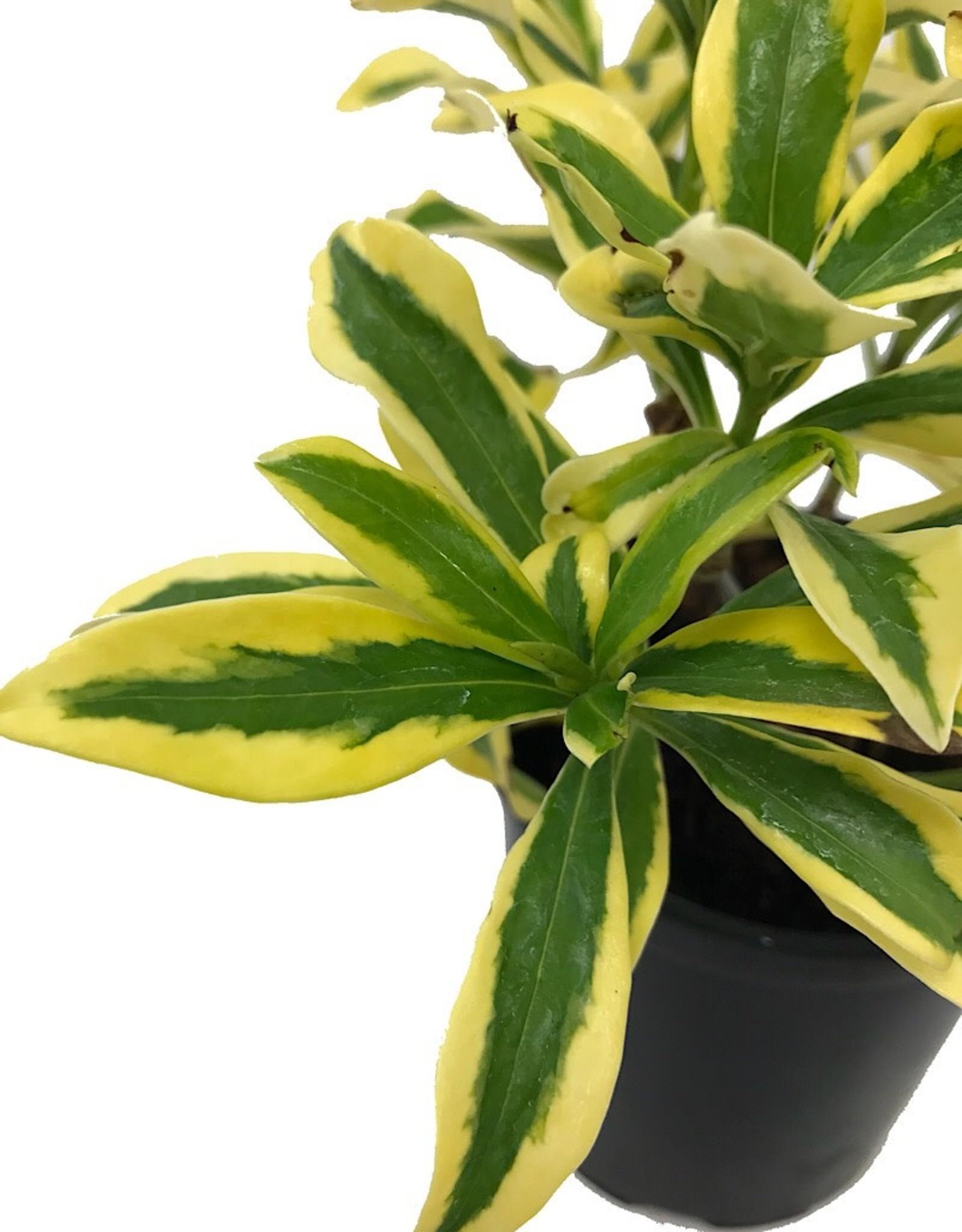 Daphne odora 'Maejima'