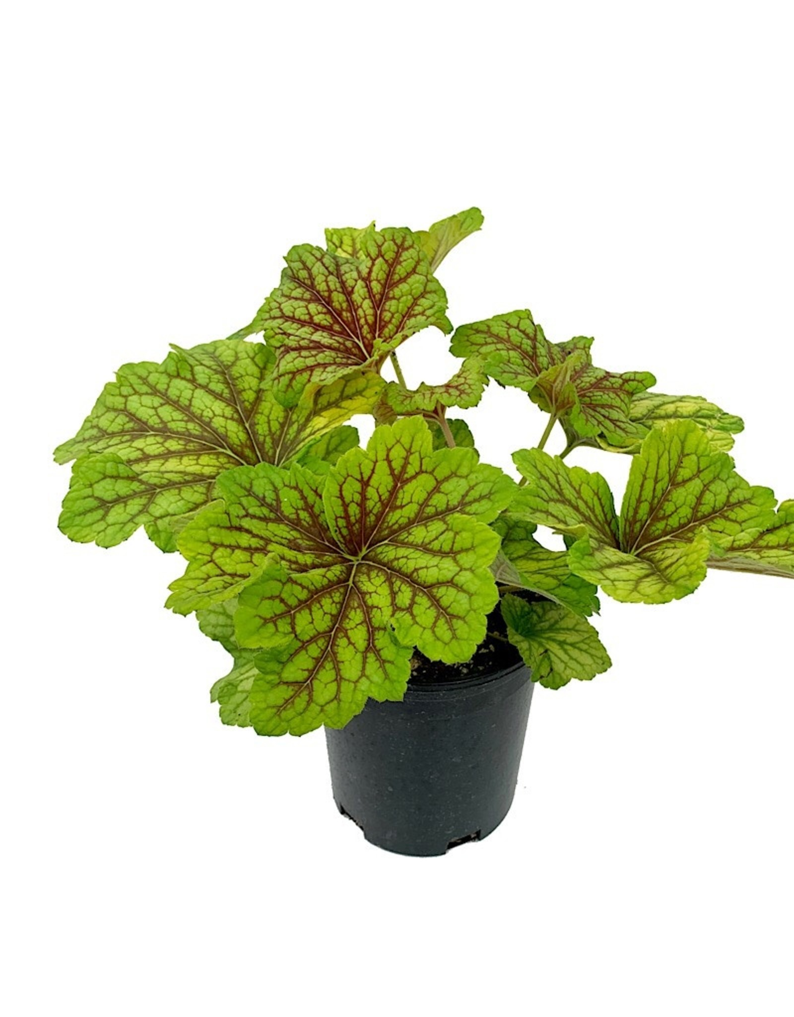Heuchera 'Red Lightening'
