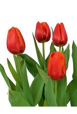 Tulip Red 6 inch