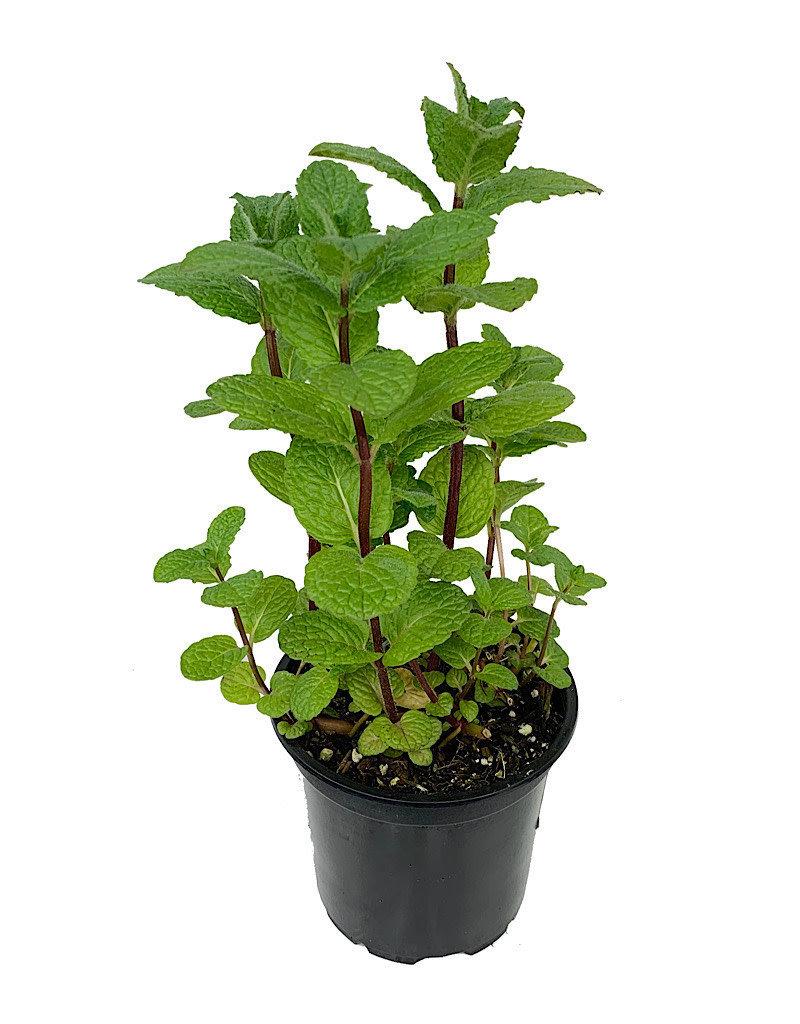 Mint 'Mojito' - 4 inch