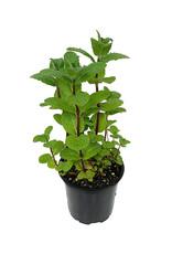 Mint 'Mojito' 4 Inch