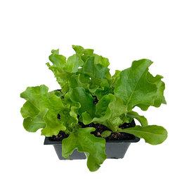 Lettuce 'Green Leaf' - Traypack