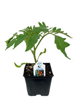 Tomato 'Early Girl' - 4 inch