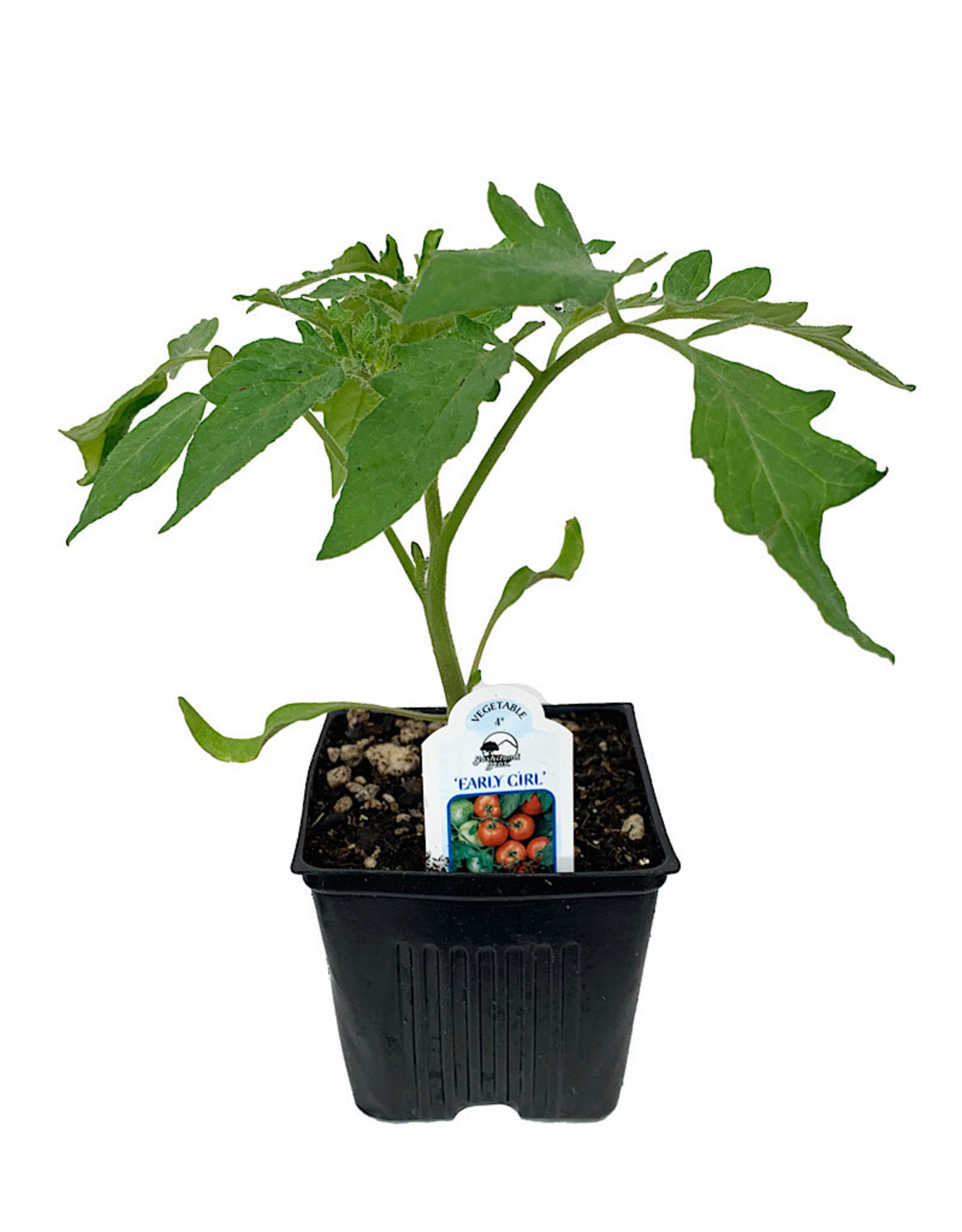 Tomato 'Early Girl' 4 Inch