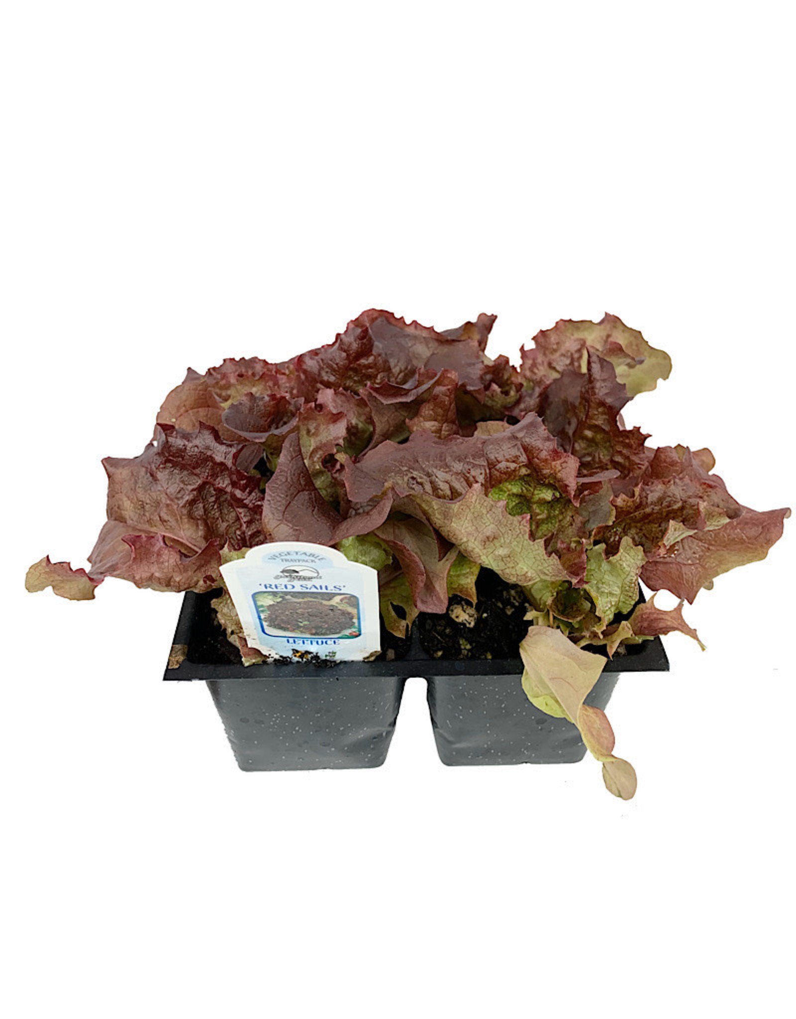 Lettuce 'Red Sails' Traypack