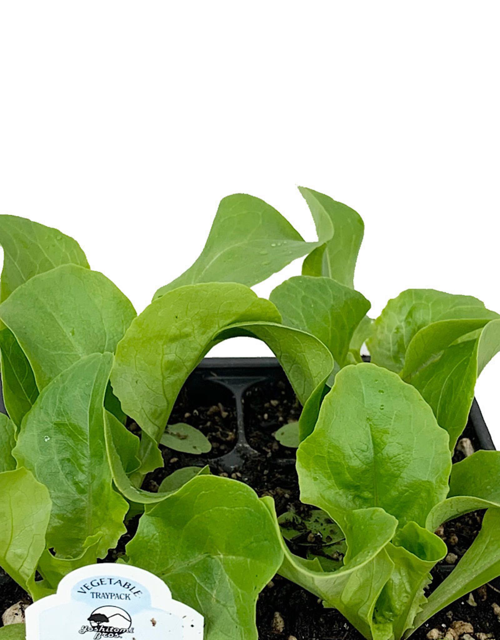 Lettuce 'Buttercrunch' Traypack