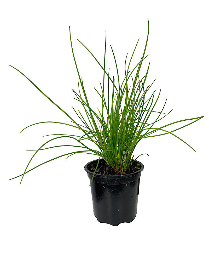 Chives 'Onion' - 4 inch