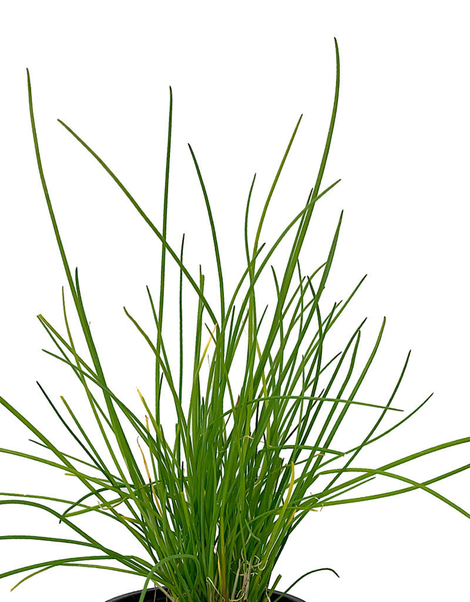 Chives 'Onion' 4 inch
