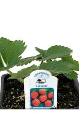 Strawberry 'Hood' - 4 inch