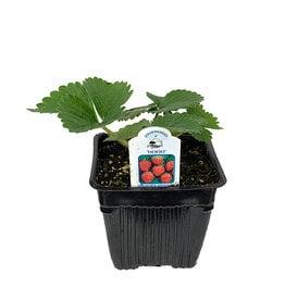 Strawberry 'Hood' 4 Inch