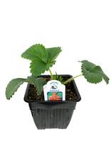 Strawberry 'Rainier' - 4 inch
