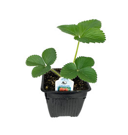 Strawberry 'Earliglow' - 4 inch
