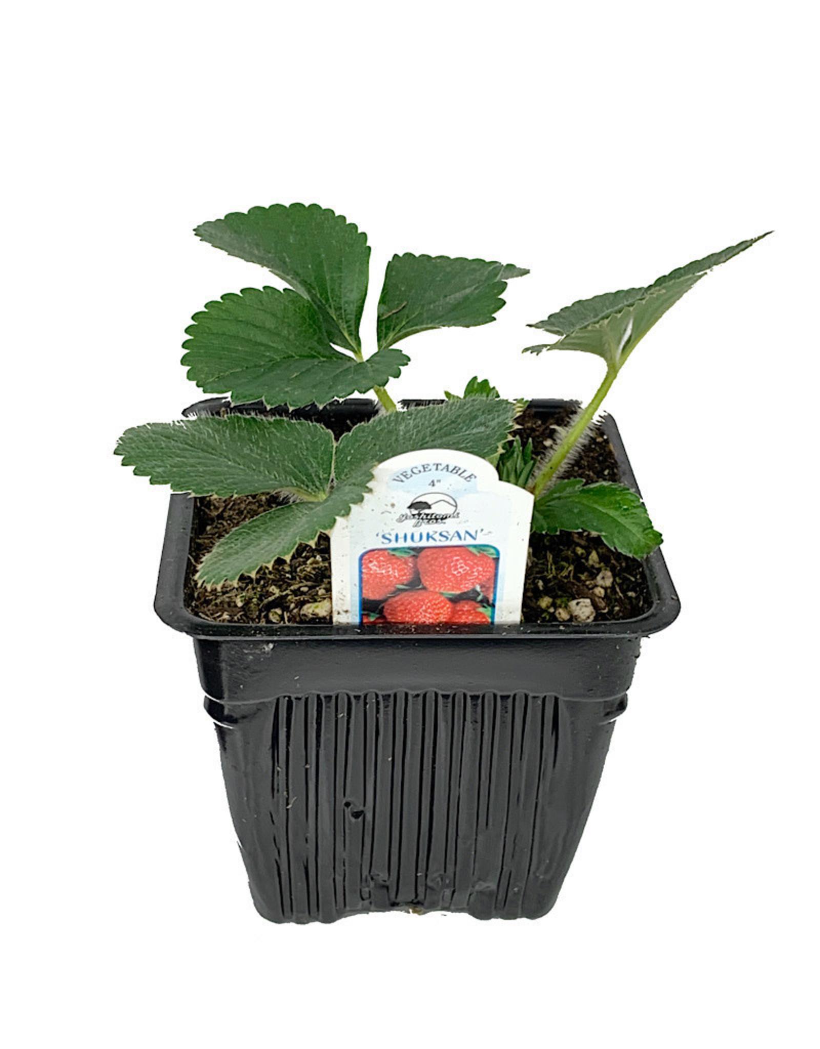 Strawberry 'Shuksan' - 4 inch